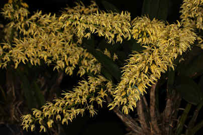 Dendrobium Speciosum Var Compactum Dendrobium Speciosum Var